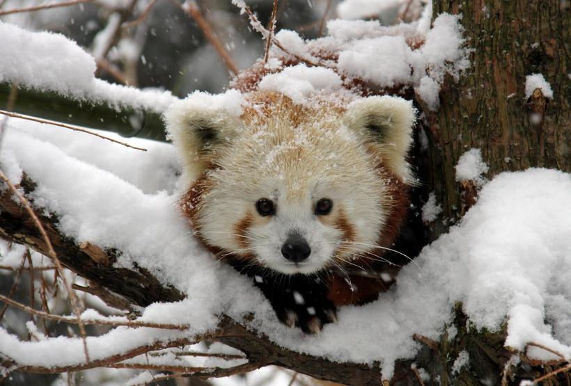 panda-in-snow